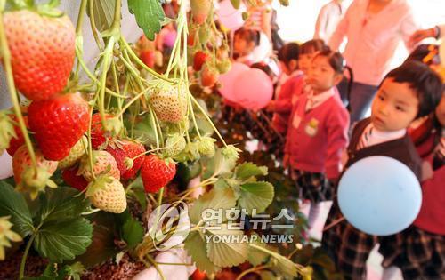 [#꿀잼여행] 충청권: 상큼한 딸기향에 실려 오는 달콤한 만남…논산 딸기축제