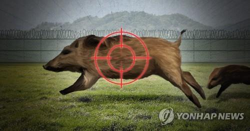 S. Korea confirms 34th wild boar infected with African swine fever - 1