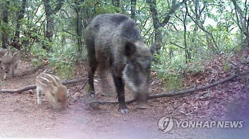(LEAD) No. of ASF-positive wild boars in S. Korea reaches 106