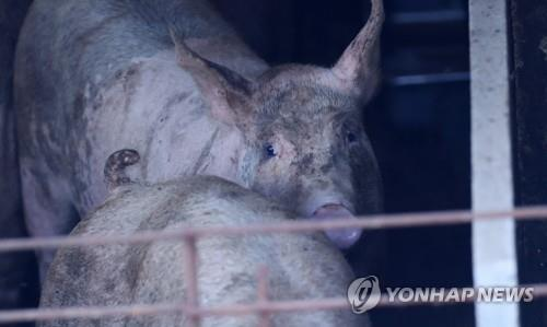 S. Korea reports six more African swine fever cases in wild boars