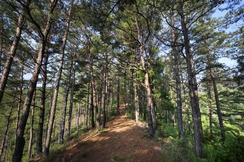 향로산 산책로의 소나무숲 [사진/전수영 기자]