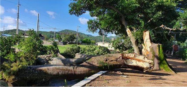 팽나무 쓰러진 전남 보성 전일리 팽나무 숲
