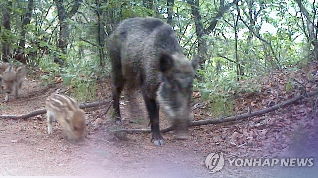 (LEAD) Swine fever-infected wild boars on steady rise in S. Korea - 1