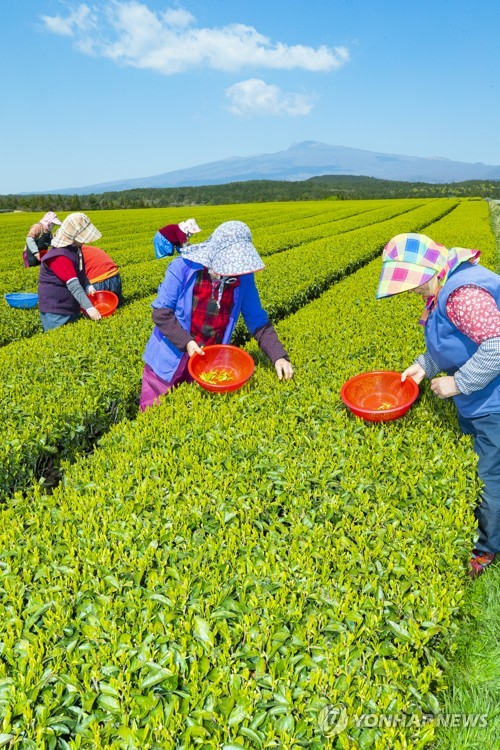 Green tea harvest