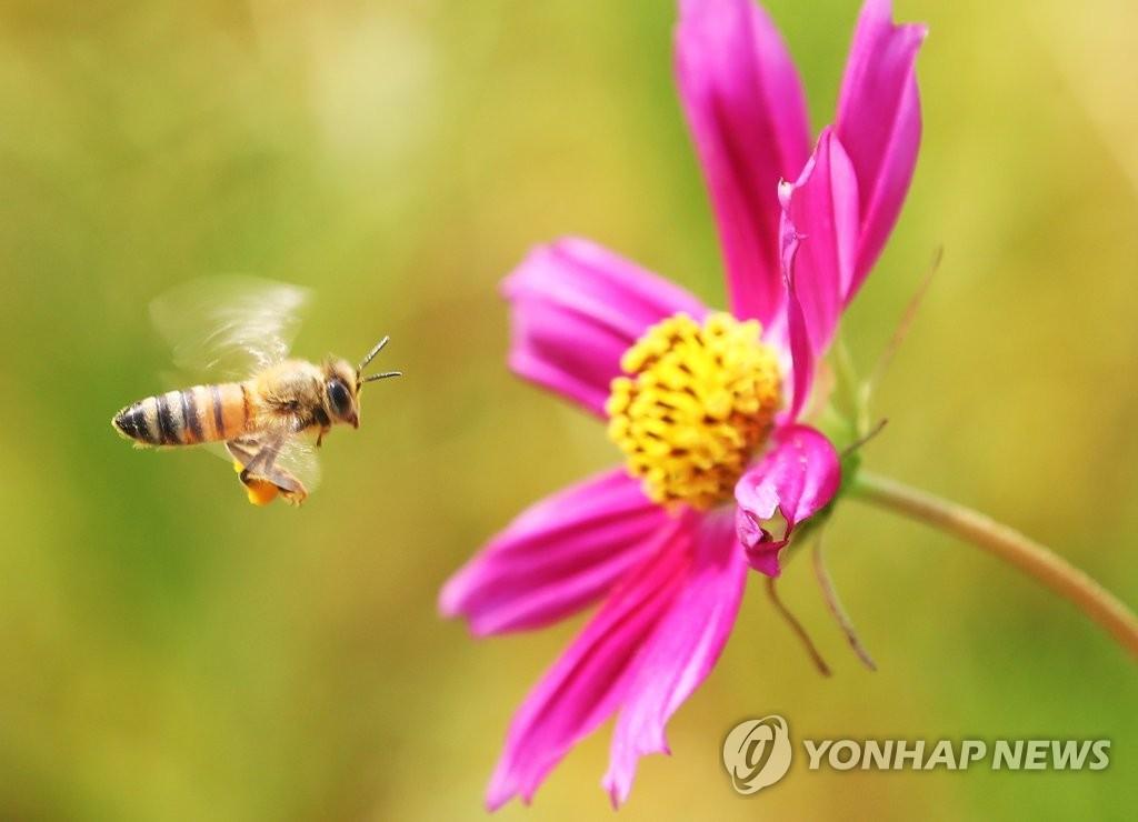 폭염 속 분주한 꿀벌[연합뉴스 자료사진]